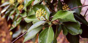 kwitnący bluszcz w rezerwacie Zimny Dół